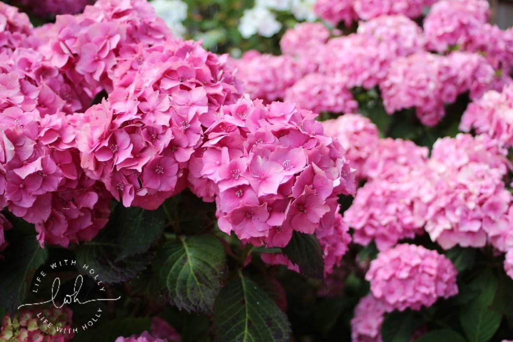 Pink hydrangeas Filey War Memorial Gardens