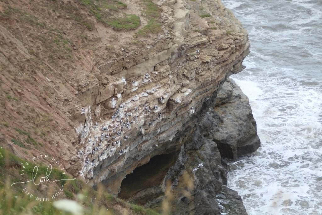 Seabirds nesting on Filey Brigg