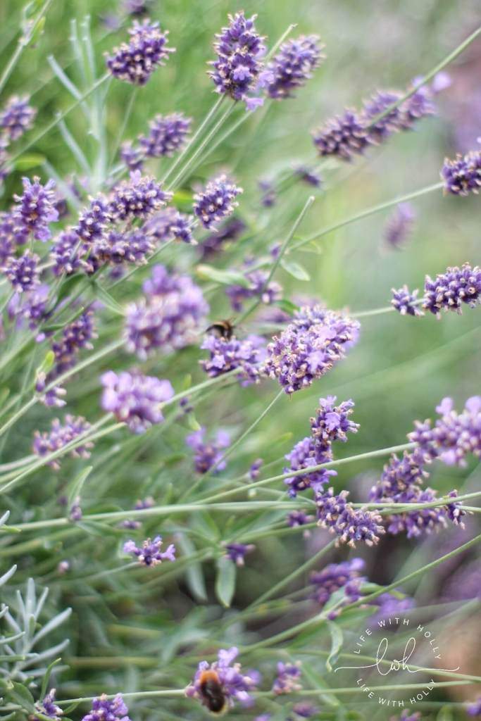 Lavender by Life with Holly My Garden in August
