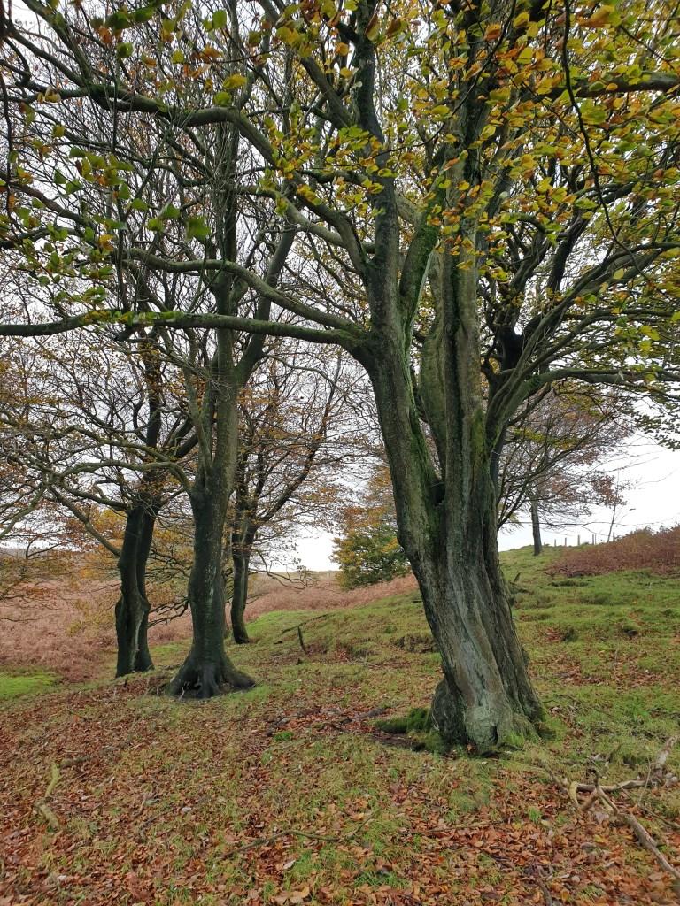 Weekend Wander - Beech Woodland at Digley