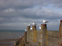Whistable Seagulls!