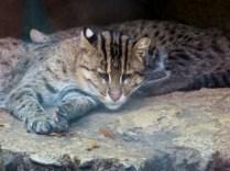 Fishing cats (kittens)