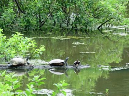 Turtles on the Beaver Pond