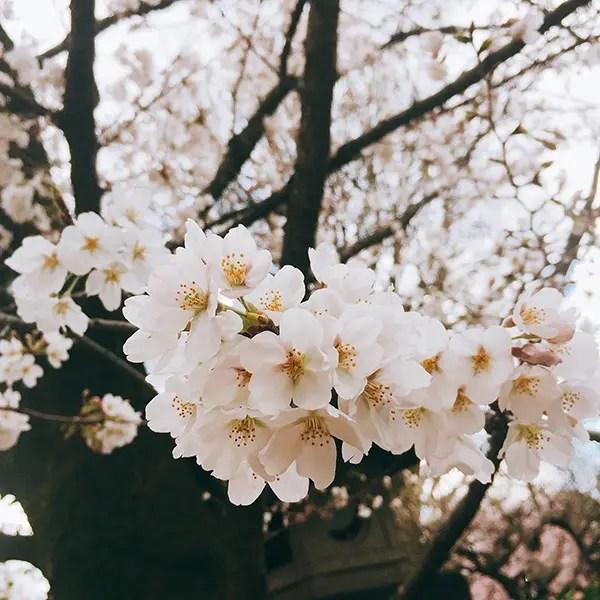 上野公園 桜 花見