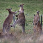 LXP - Lifexpe - wild kangaroos fight