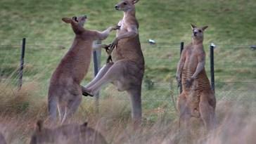 LXP - Lifexpe - wild kangaroos fight