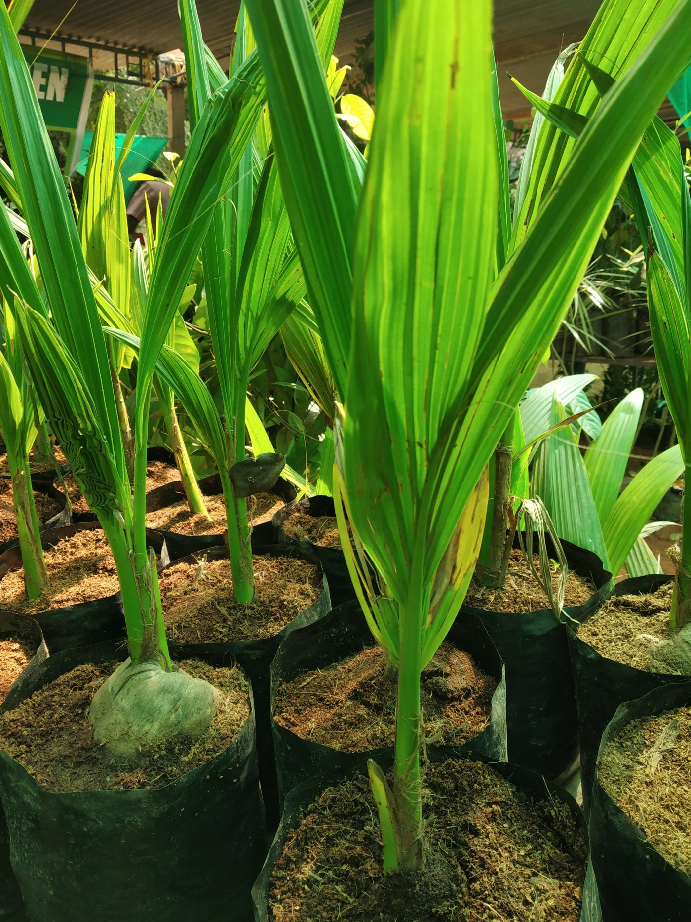 Coconut seedlings in bags ready to replant .