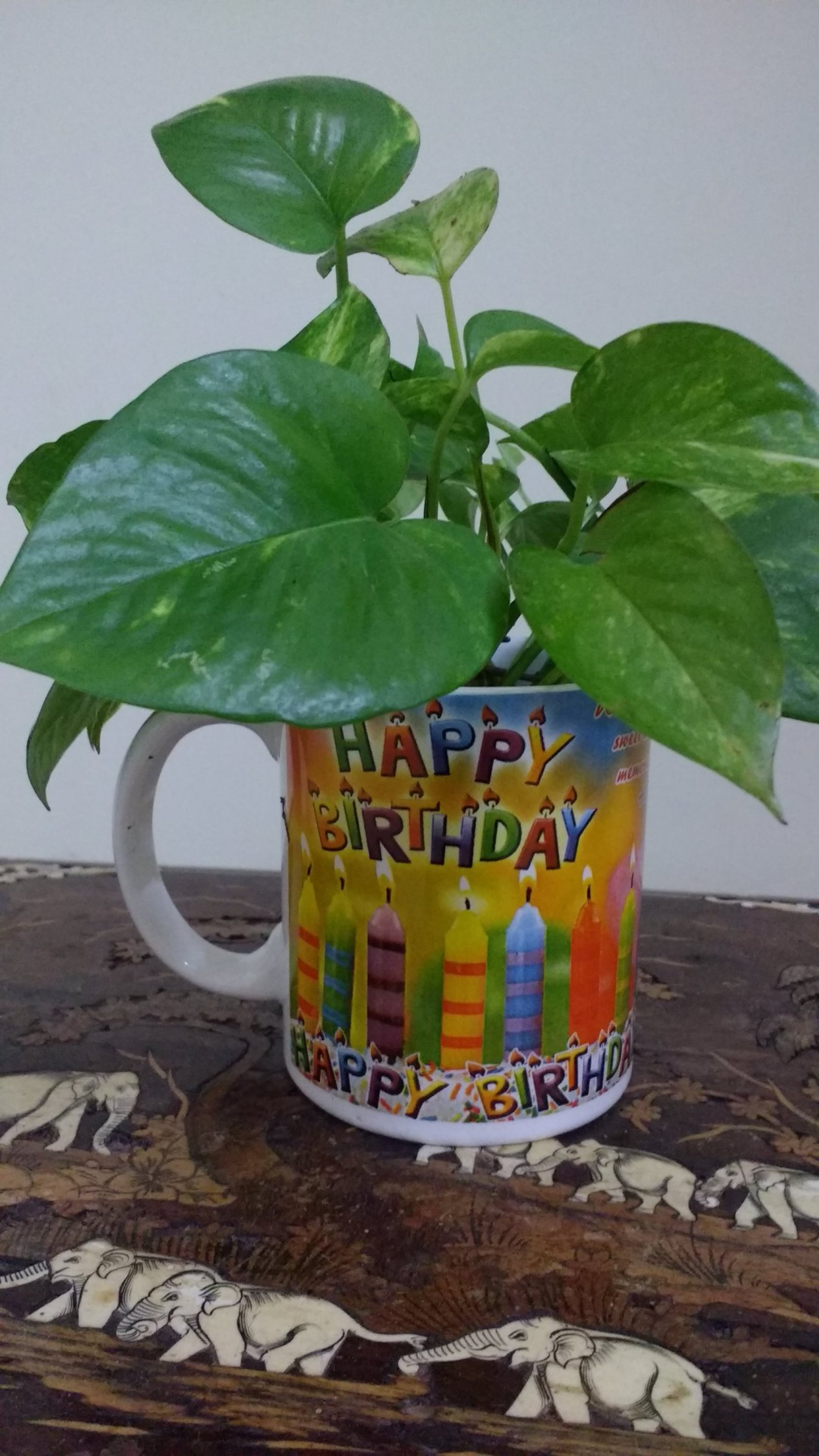 Money plants are ideal gifts on various occasions