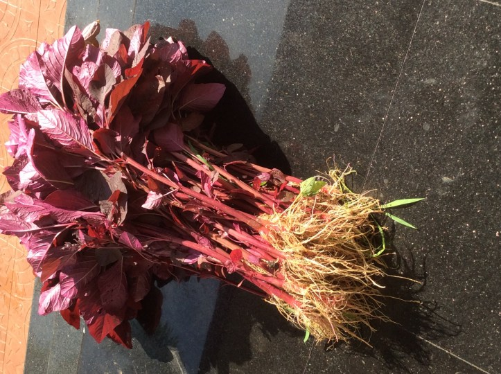 Mature Red spinach plants are harvested along with roots.