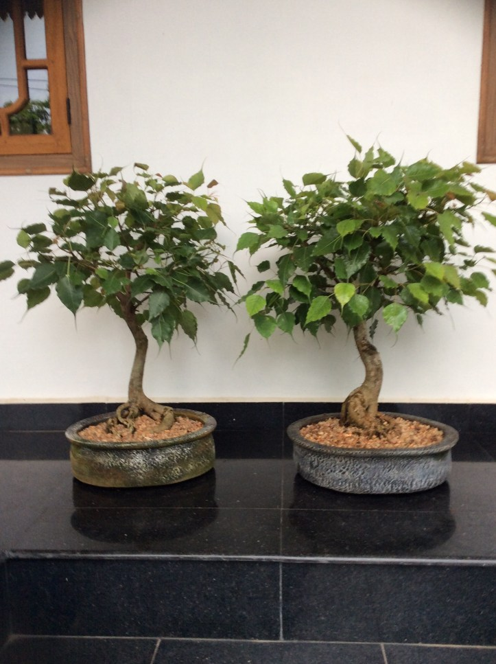Ficus religiosa is an ideal tropical bonsai plant.