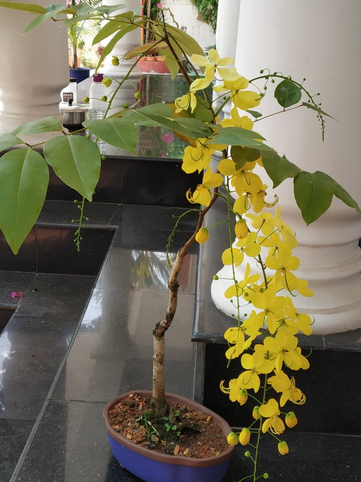 Cassia fistula is one of the Easily Growing Flowering Bonsai in tropical regions.