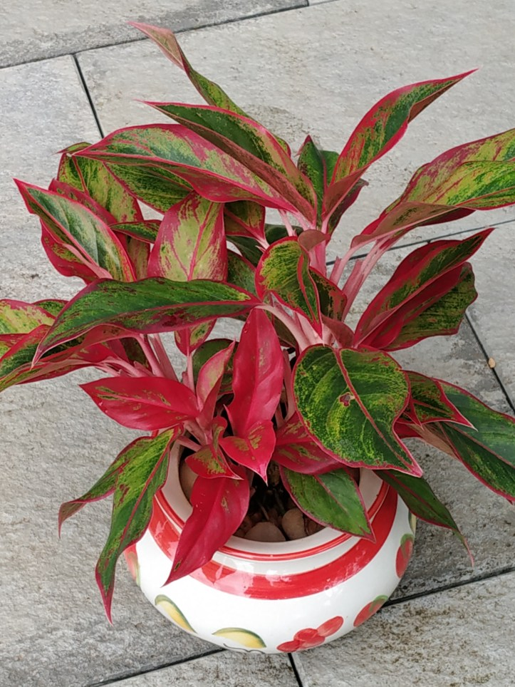Aglaonema plants in ceramic pots look awesome.