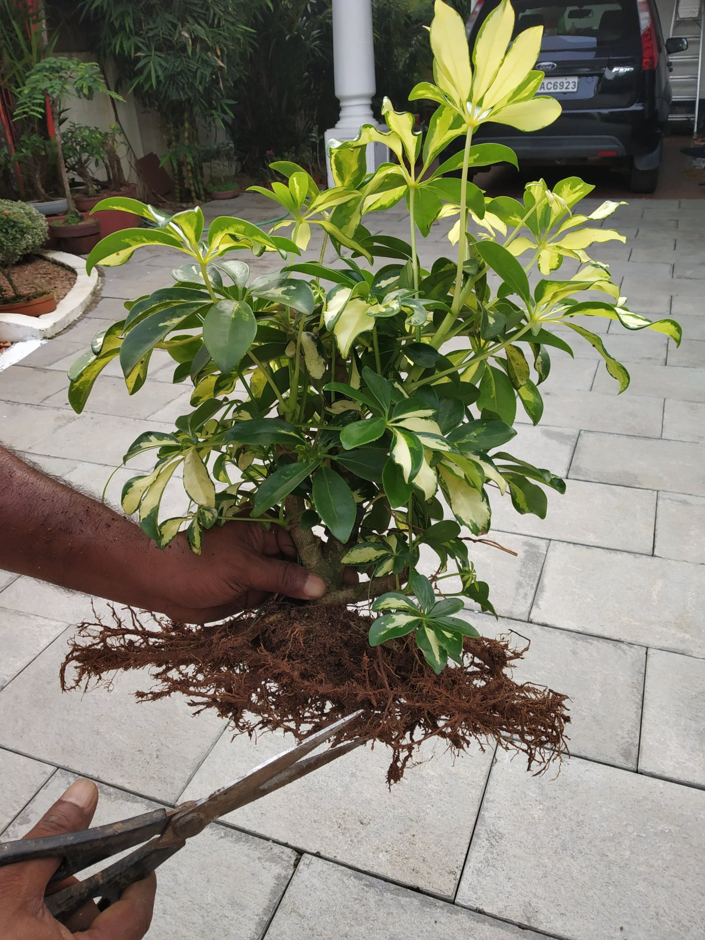 Do root pruning to learn through simple guide for bonsai beginners.