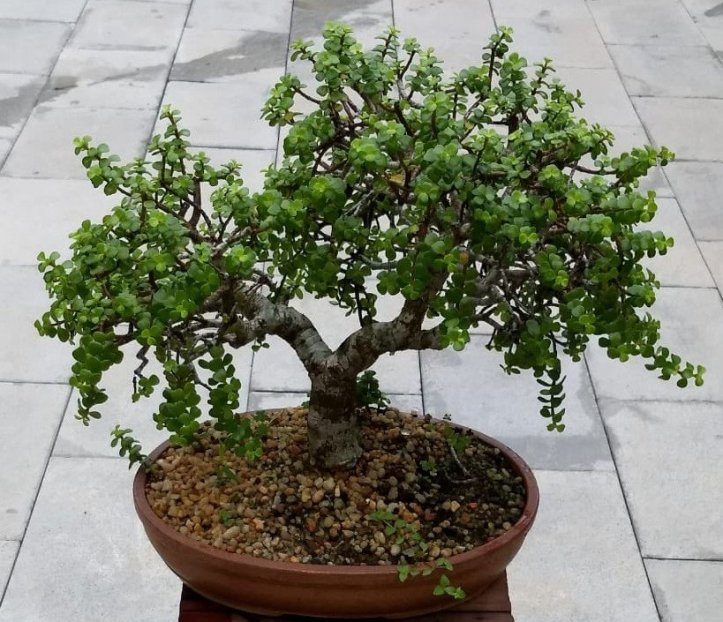 The Jade tree bonsai
