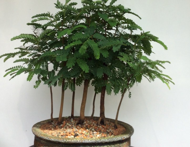 Basic Bonsai Styles For Beginners You Too Can Try Lifezshining
