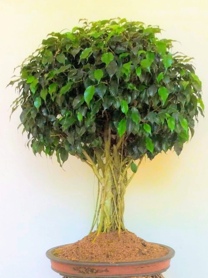Ficus Benjamina For Bonsai Beginners Try To Grow Your Own Lifezshining