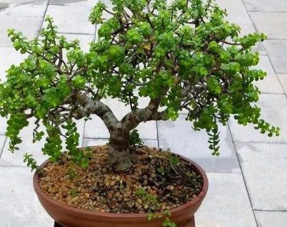 Jade is one of the best examples of succulent tree