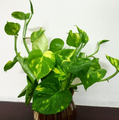 Indoor plant problems and remedies