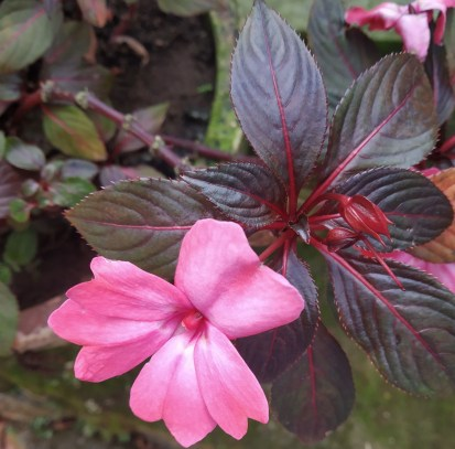 Impatiens or Chinese balsam plants