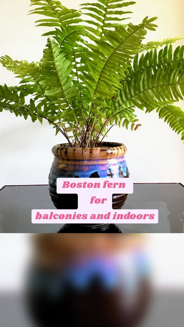 Boston fern     for balconies and indoors