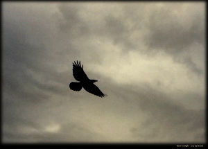 Raven in Flight 2019 Lif Strand photo