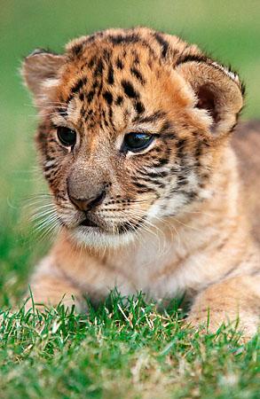 liger_cub.jpg