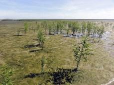 Mangrove naissante sur vasière © EMichaud CNRS