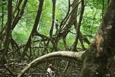 Sous-bois de Rhizophora, estuaire de l'Oyapock © FFromard