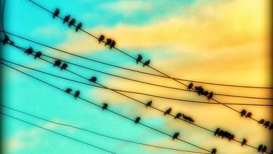 صورة لماذا لا يتعرض الطير للصعق عندما يقف على الاسلاك الكهربائية