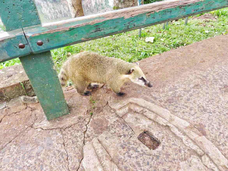 Los Coatíes: las mascotas de las Cataratas de Iguazú