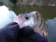 Little Dropshot Perch