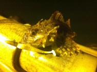 Scorpion Fish on Reins Ringer Shad