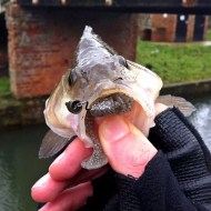 Size of Perch Mouth