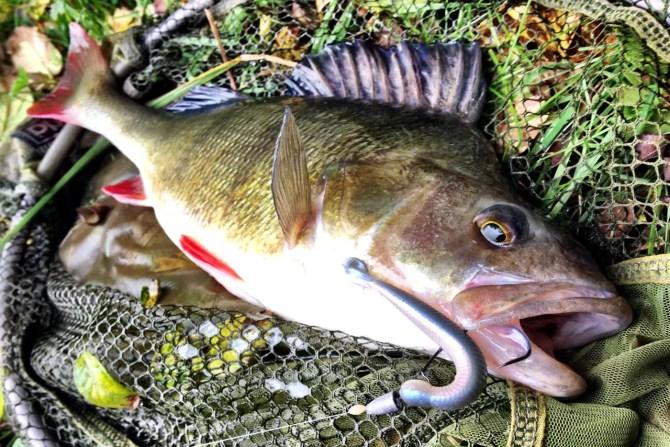 39cm Perch on Ecogear L Grass Minnow