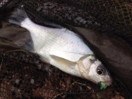 Bream on Unscented Plastic