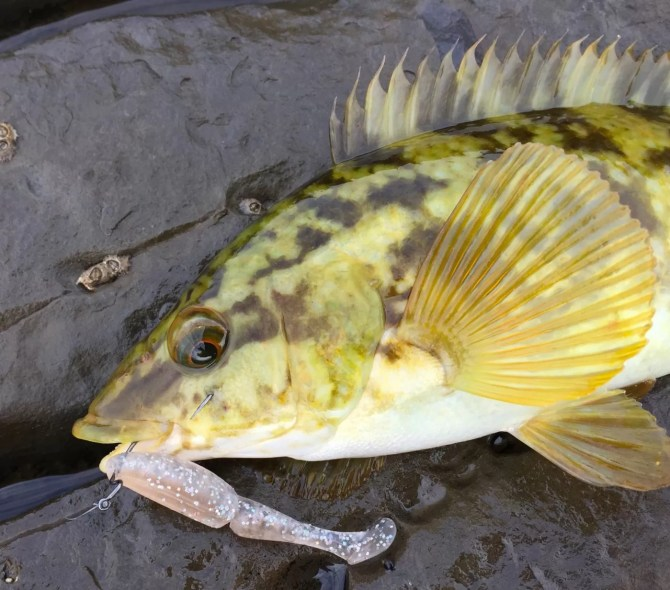 Wrasse on One Up Shad