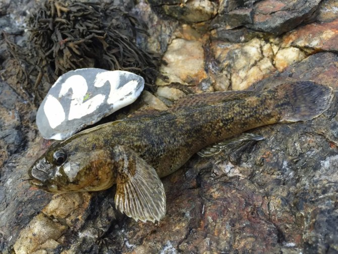 Giant Goby Cornwall
