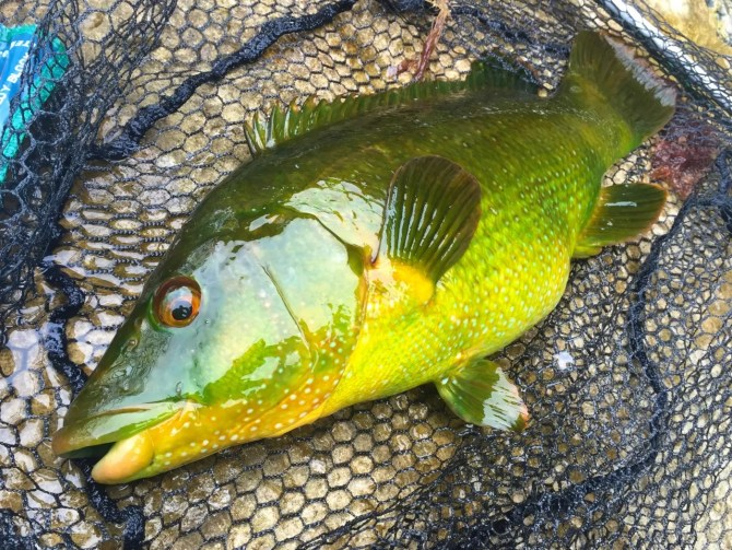 Green and Gold Ballan Wrasse