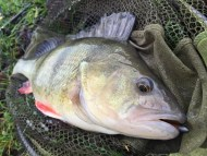 Big Perch From Canal