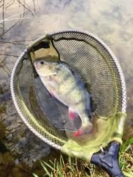 Big Perch In The Net