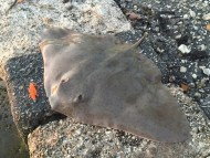 Lure Caught Butterfly Ray