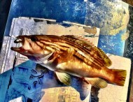 Goldblotch Grouper in Skopelos