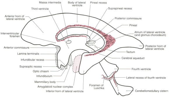 Site of consciousness in ventricles