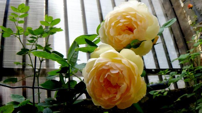 Wollerton Old Hall Primula