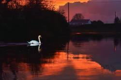A swan on the River Fergus at Corofin as daylight fades. Photo Clare by Nature https://www.facebook.com/clarebynature