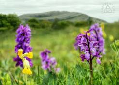 Early purple orchids and cowslips at Mullaghmore in the Burren. Pic Clare By Nature