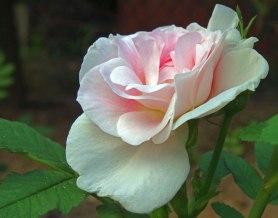 roza-mala2