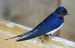 "Tsubame, ""Barn Swallow"". Taken by Malene Thyssen. From Wikipedia."
