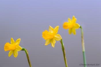 Three daffodils in a still shot.