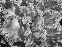 floweringkale